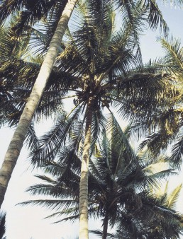 A photograph looking up at the blue sky and palm trees.